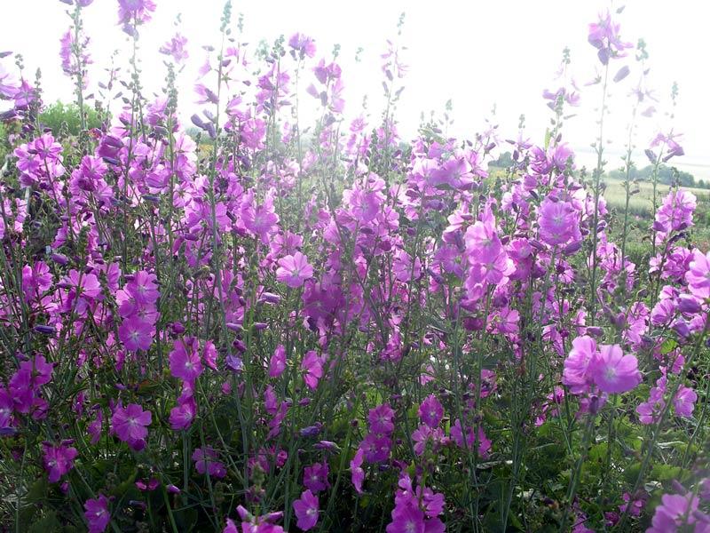 сидальцея  цветов